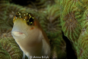 Blenny by Anna Bilyk